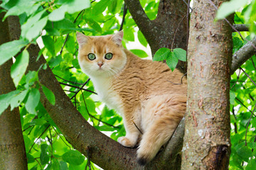 Cat sitting on a tree. Golden British cat with green eyes climbed a tree and sits on a branch among the green leaves looking at the camera. Cat on the tree
