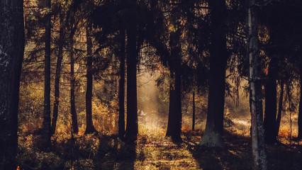 Autumn forest with beatiful falling sun rays in Saint Petersburg province Otradnoe