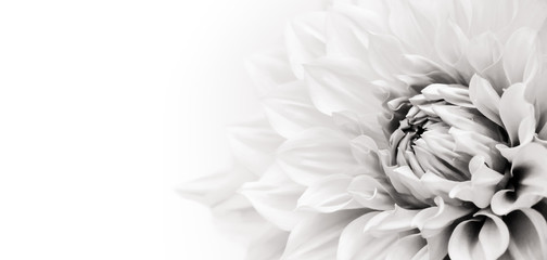 Keuken foto achterwand Dahlia Details of blooming white dahlia fresh flower macro photography. Black and white photo emphasizing texture, contrast and intricate floral patterns in a white background wide banner panorama format