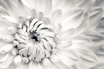 Poster Dahlia White dahlia fresh flower details macro photography. Black and white photo with flower head emphasizing texture, contrast and beautiful natural floral patterns.