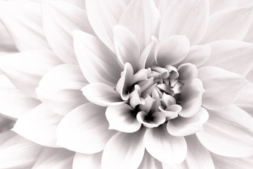 Cadres-photo bureau Dahlia Details of white dahlia fresh flower macro photography. Black and white high key photo emphasizing texture, contrast and intricate geometric floral patterns.