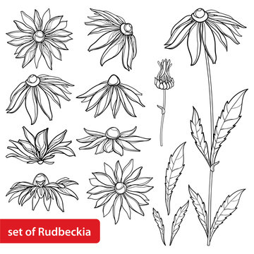 Vector set with outline Rudbeckia hirta or black-eyed Susan flower bunch, ornate leaf and bud in black isolated on white background. Contour Rudbeckia for summer design and coloring book.