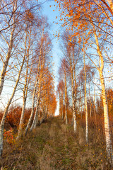 autumn birch grove of golden color at sunset