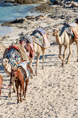 Red Sea Egypt - Horses and Camels for the Tourists