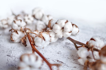 Branches of white fluffy cotton flowers. Dry plants with open buds