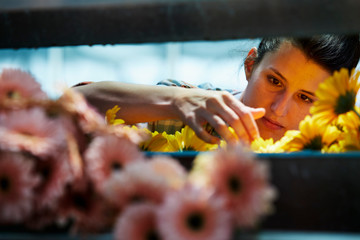 Female Florist Arranging Yellow Gerbera Daisies On Rack
