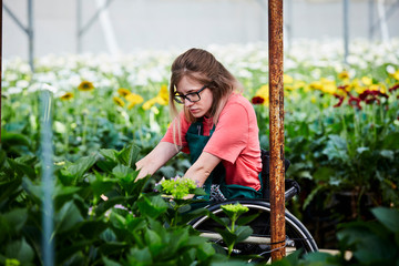 Disabled Female Gardener Examining Hydrangea Plants