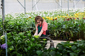 Disabled Florist Examining Hydrangea Plants At Greenhouse