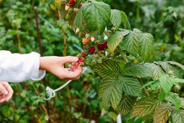 Female preteen child picking soft fruit