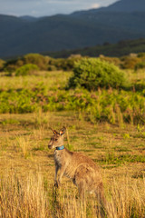 Eastern Grey kangaroos tagged as part of a scientific study on movement and breeding habits at Wilsons Promontory national park, Victoria, Australia