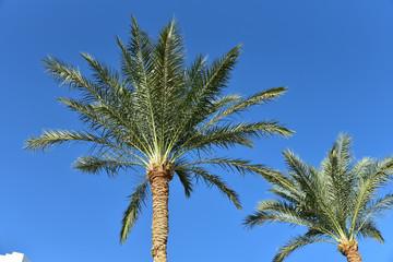 Egyptian palm trees against the blue sky