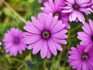 pâquerette fleur violette