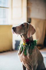 Dog with crown of flowers