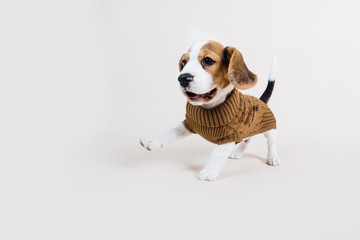 beagle puppy running in winter outfit
