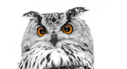 Wall Mural - A close look of the orange eyes of a horned owl on a white background. Focused on the eyes. In black and white with colored eyes.