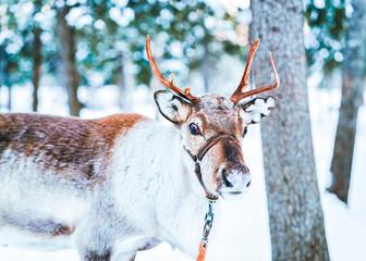 Brown Reindeer in Finland in Lapland