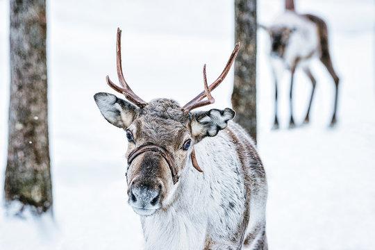 Brown Reindeer in Finland at Lapland winter