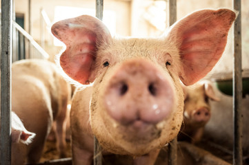 Young pig muzzle coming out of the cage