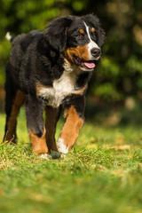 Berner Sennenhund läuft durch den Garten