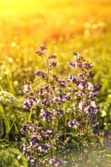 Vintage photo of beautiful purple wild flowers in sunset