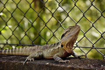 The Australian lizard eastern water dragon