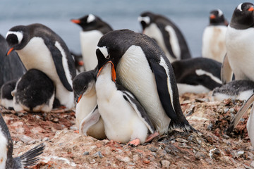 Gentoo penguin feeds chick in nest