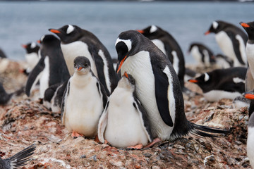 Two gentoo penguin's chicks in nest
