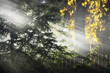 Autumn landscape. Morning fog in the forest. Sun rays and branches of pine trees, close-up. Germany