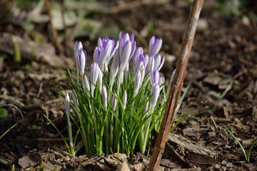 Wild Krokusse im Frühjahr