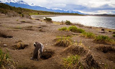 Penguin in Tierra del Fuego Patagonia