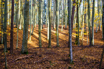 An autumn forest landscape. Close-up view of beech trees, green and golden leaves, Germany