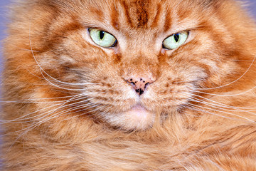 Close-up Portrait of red tabby ginger Maine Coon Cat