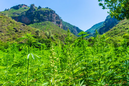 Wide plantation of marijuana in the Rif Mountains. This area makes Morocco be the world's top supplier of Cannabis.