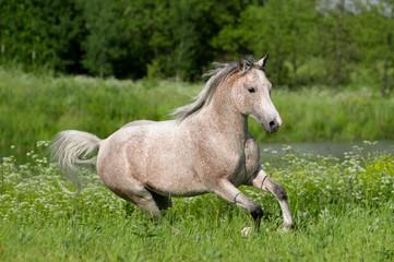 grey arabian horse runs free in summer field