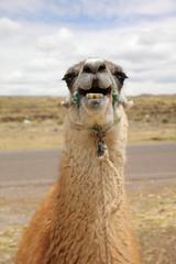 Lama (Lama glama) in Peru. Südamerika