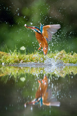 Fotorolgordijn Grijs The diving Common Kingfisher, alcedo atthis is flying with his prey in green background. The kingfisher just caught his prey. Colorful backgound. Amazing moment. Flying bird gem of our rivers...
