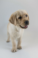 he Labrador Retriever puppy looks so cute, sitting in the photo studio, white or golden version, white backgroung