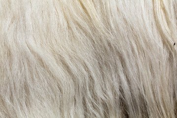 cachemire Goats cashmere. kashmir goat wool genuine, combed and not. Animal hair worsted wool with brush and comb