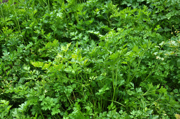 Leaf parsley grows in open ground