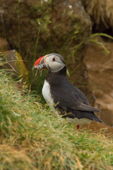The Atlantic puffin, Fratercula arctica is sitting in the grass very clouse to its nesting hole. It is typical nesting habitat in the grass on the high cliffs on the Atlantic coast in Iceland