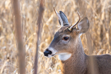Young whitetail buck in tall grass