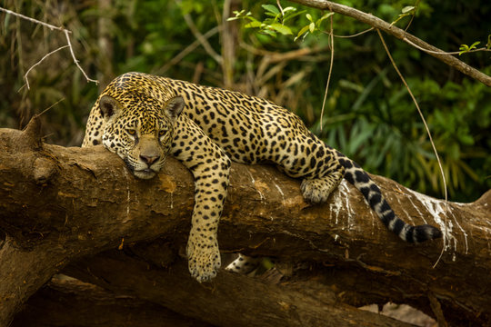 Brazilian Pantanal: The Jaguar