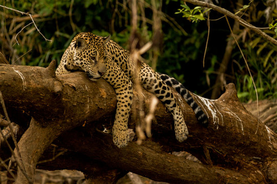 Brazilian Pantanal: Jaguar on a Tree