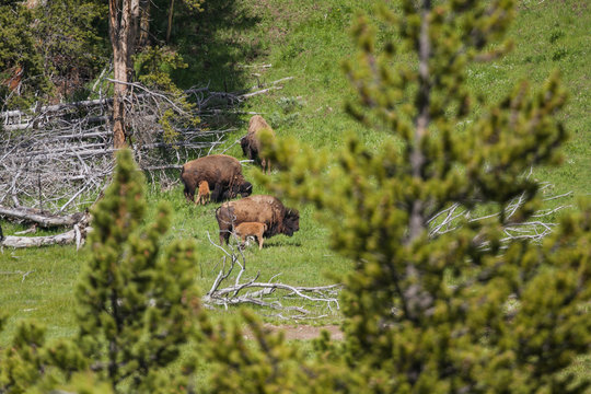 Fauna of Yellowstone: Bison