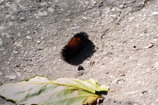 Wooly Bear on the Sidewalk