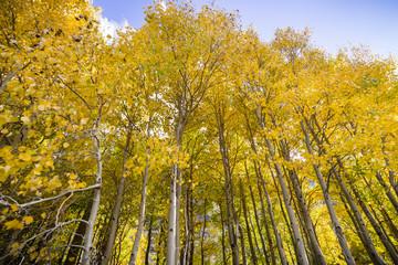 Grove of aspen trees on a sunny fall day; Eastern Sierra mountains, California
