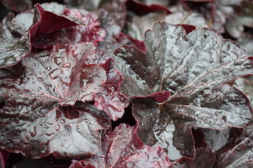 leaves of Begonia in cloudy weather background, texture,