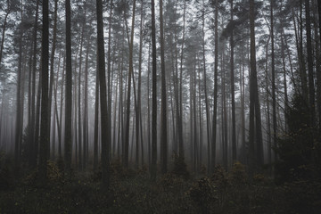Mysterious, misty, dark forest. Late autumn afternoon. Magic woodland.