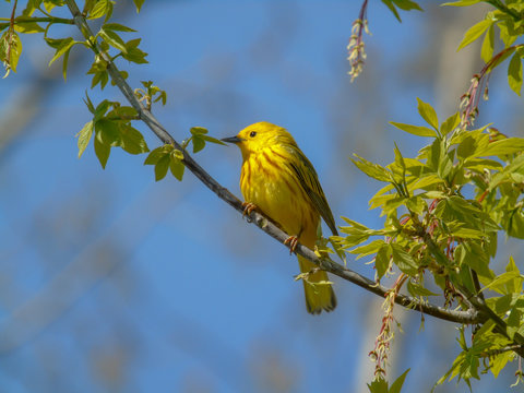Pretty yellow warbler migrating through Magee Marsh