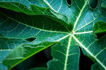 Background of Tropical Leaves soft focused image leaf